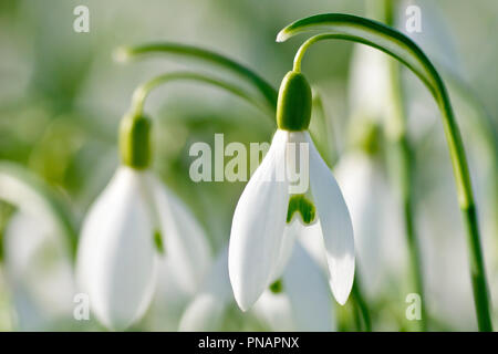 Snowdrop (galanthus nivalis), close up of one flower out of many. - Stock Image