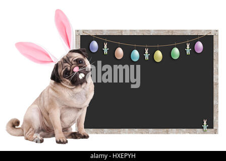 cute pug puppy dog with bunny ears diadem sitting next to blank blackboard sign with easter decoration, on white - Stock Image
