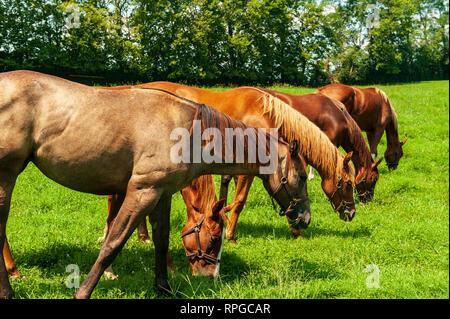 Thoroughbreds on a Kentucky Horse Farm - Stock Image