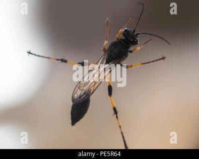 A mud dauber wasp species sceliphron destillatorium - Stock Image