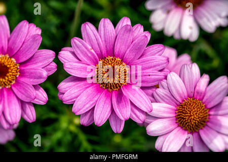 Overhead capture of blooming pink flowers - Stock Image