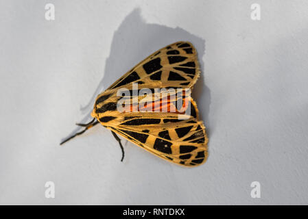 Harnessed Moth or Apantesis phalerata with multi-colors during Fall season in North Central Florida. - Stock Image