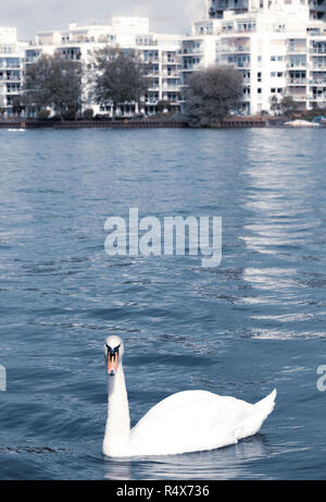 A Mute Swan (Cygnus olor) swimming in the Spree River, Berlin. - Stock Image
