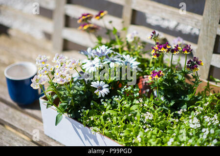 Blue coffee mug on a wooden garden bench next to a box of annual pretty plants ready for the garden in late spring - Stock Image