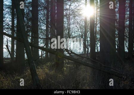 Sunrise through the Woods - Stock Image