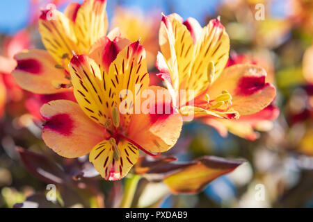 Alstromeria 'Indian summer' colourful flowers, UK. - Stock Image