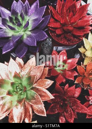 Colourful shiny succulents - Stock Image