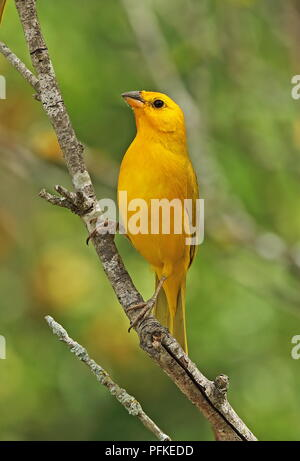 Saffron Finch (Sicalis flaveola valida) adult male perched on branch  Puembo, Quito, Ecuador                    February - Stock Image