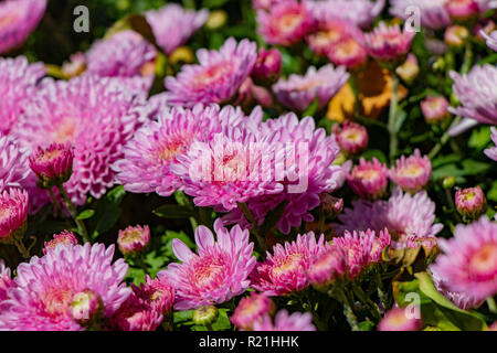beautiful lilac chrysanthemum flowers with green leaves - Stock Image