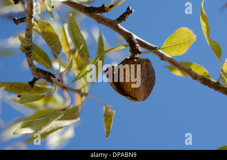 An Almond on the tree with blue skys in background - Stock Image