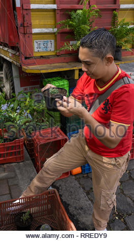 Plant seller in Jinotega's central park looks at one of the plants he's selling.  The sellers come down from the growing area in the mountains. - Stock Image