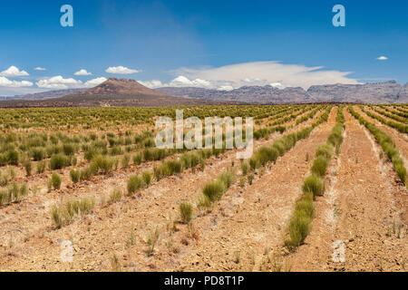 Rooibos plantations in the Cederberg Mountains in the Western Cape province in South Africa. - Stock Image