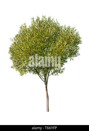 Small young green tree isolated on white background - Stock Image