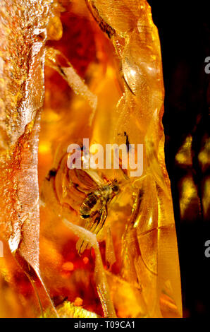 Prehistoric fly in Baltic amber - showing signs of fungus / mold - Stock Image