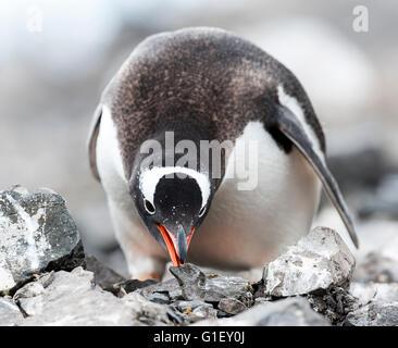 Gentoo penguin (Pygoscelis papua) collecting stones to build up a nest Madder Cliffs Antarctic Peninsula Antarctica - Stock Image