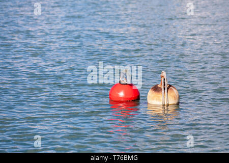 pair of mooring buoys in the port of Gustavia, St Barts - Stock Image