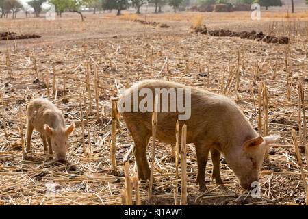 Kourono village, Yako province, Burkina Faso; Moussa Mande, 54, goat project beneficiary, also has pigs. - Stock Image