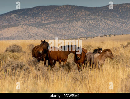 Overview of a mustang family all horses brown in hIgh desert in Nevada, USA, on dry grass, featuring mountains in the background, on a cloudless day - Stock Image