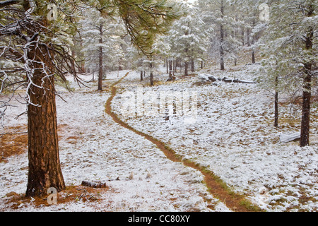 Trail throug forest of ponderosa pine trees after a late May snowstorm, near Flagstaff, Arizona, USA - Stock Image