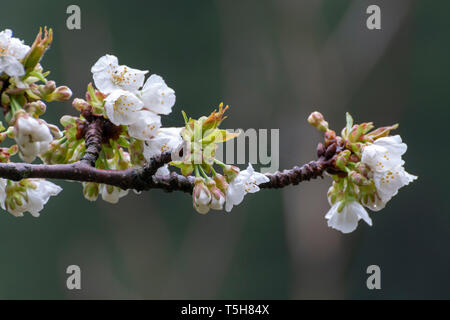 White blossom of sour cherry in garden in spring, floral background - Stock Image
