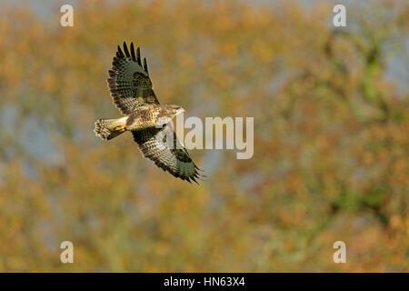 Common buzzard (Buteo buteo) in flight against backdrop of autumn foliage. Powys, Wales. November. - Stock Image