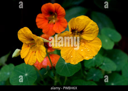 Thaxted, Essex. 15th Oct 2018. UK Weather: Last colours of Autumn in my garden in Thaxted Essex England. 15 October 2018 Nasturtium Credit: BRIAN HARRIS/Alamy Live News - Stock Image