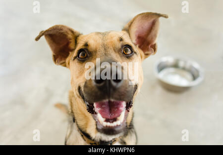 Dog bowl is a hungry German Shepherd waiting for someone to food in his bowl. - Stock Image