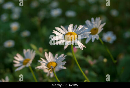 Flower daisy close-up macro with droplets of rain water dewdrop on a blue background. - Stock Image
