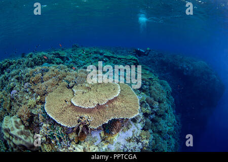 Female scuba diver swims over top of pinnacle in the Red Sea to photograph large table coral in the Fury Shoals area. - Stock Image