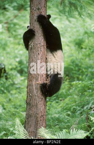 Giant panda slides down tree, Wolong, China, June - Stock Image