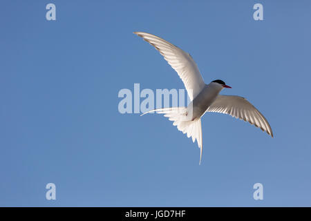 An Arctic Tern backlit in mid-flight against a clear blue sky in Svalbard - Stock Image