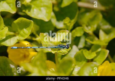 Coenagrion puella, Azure Damselfly, Wales, UK. - Stock Image