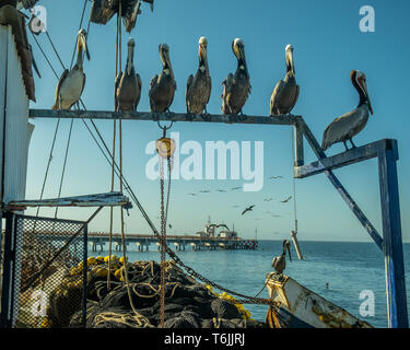 Brown pelican (Pelecanus occidentalis) perch over fishing nets overlooking the pier at San Carlos, Baja California Sur, Mexico. - Stock Image