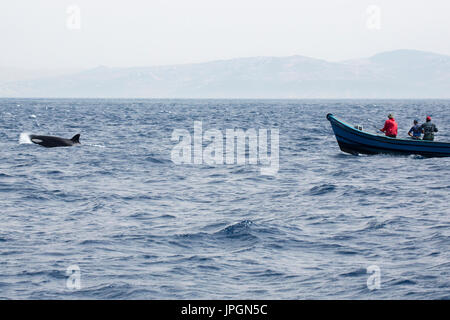 Orca, or killer whale (Orcinus orca) dragging the boat of some Moroccan fishermen, trying to snap / steal the tuna from them - Stock Image