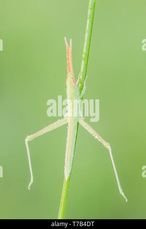 A dew-covered Toothpick Grasshopper (Mermiria sp.) nymph perches on vegetation in the early morning. - Stock Image