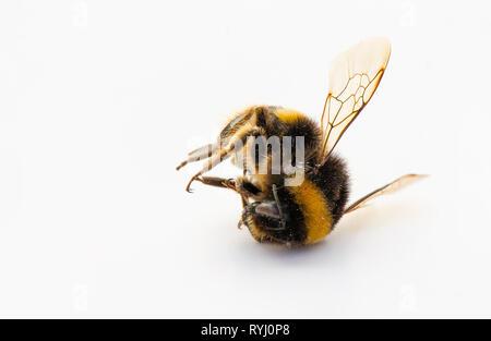 Bumblebee, Macro of dead Bumblebee on white background - Stock Image