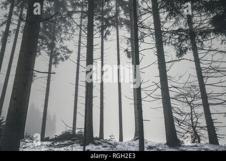 Forest in the mist with tall barenaked trees in the winter with snow on the ground - Stock Image