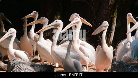 Pelicans - Stock Image