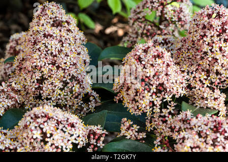 Skimmia japonica Rubella, flowering in spring with scented blossoms. - Stock Image