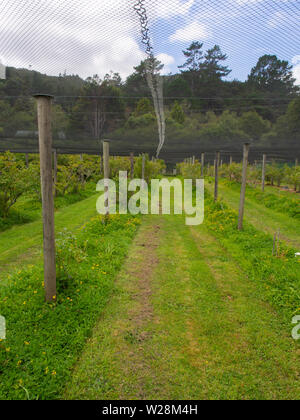 Bird Netting Over Rows Of Blueberry Bushes - Stock Image