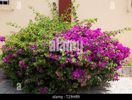Purple flowers on a bush in St Lucia, The Caribbean - Stock Image