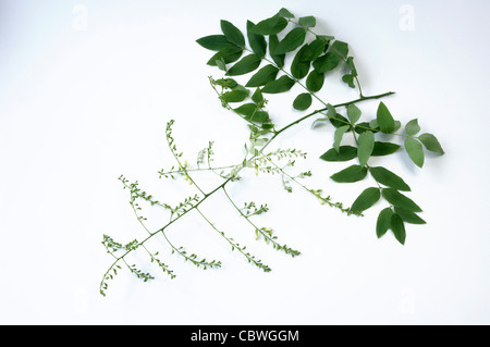 Pagoda Tree (Styphnolobium japonicum, Sophora japonica), flowering twig, studio picture against a white background. - Stock Image
