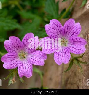 Two Geranium magnificum purple cranesbill flowers closeup - Stock Image