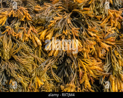 Closeup of Channelled wrack ( Pelvetia canaliculata ) Seaweed, Scotland, UK - Stock Image