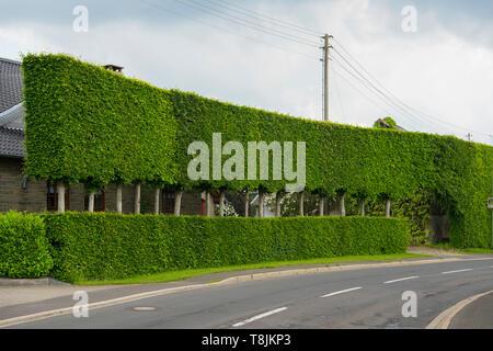 Deutschland, NRW, Städteregion Aachen, Eifel, Monschauer Heckenland, Monschau-Eicherscheid, übergrosse Buchenhecke - Stock Image