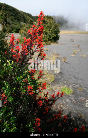 Indian's Paintbrush flowers (Castilleja sp.) near the active crater in Irazú Volcano National Park, Costa Rica. - Stock Image