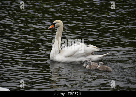 Newby Bridge, Cumbria. 1st June 2019. UK Weather. These cute cygnets were keeping warm on the back of Mum, on a cludy, damp lake Windermere today. Credit Simon Maycock / Alamy Live News. - Stock Image
