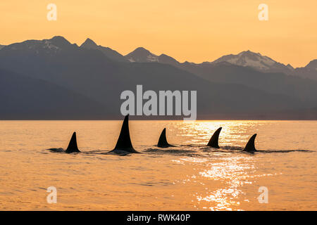 Orca whale (Orcinus orca) pod in Lynn Canal with Chilkat Mountains in the background, Southeast Alaska; Alaska, United States of America - Stock Image