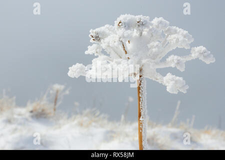 botany, ice detail on chervil, Switzerland, Additional-Rights-Clearance-Info-Not-Available - Stock Image