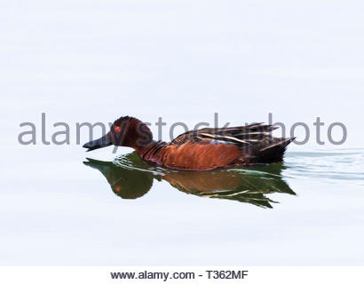 Cinnamon Teal, Anas cyanoptera, male swimming and feeding on pond in Arizona USA - Stock Image